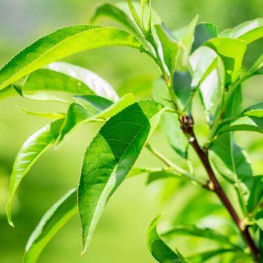 essence-eucalyptus