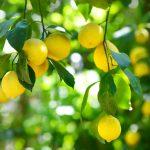 essence-lemon