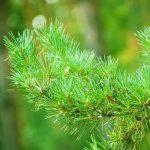 essences-pine